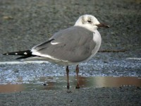 05-00march-laughing-gull