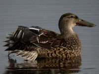 06-00jan-shoveler-female