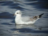 06-01octmediterranean-gull-1st-winter-isles-of-scilly