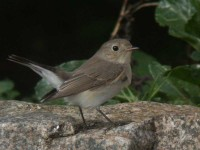 06-19octred-breasted-flycatcher-isles-of-scilly