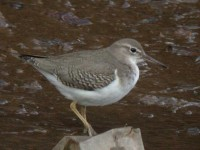 06-21stoct-spotted-sandpiper-hayle-estuary