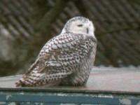 08-25octsnowy-owl