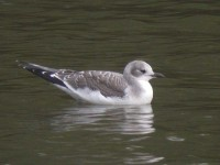 08-31aug-juv-sabines-gull2