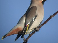 09-03jan-waxwing