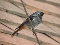 09-13dec-black-redstart