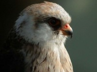 red-footed-falcon2