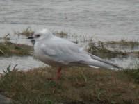 s-gull