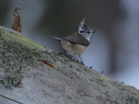 crested-tit-82282377