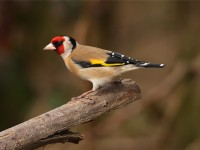 goldfinch-02412562