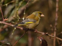 greenfinch-02202558