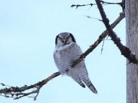 hawk-owl-87642503