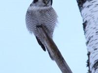 hawk-owl-87892502