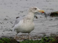 herring-gull-60653503