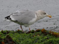 herring-gull-60983466