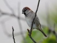 house-sparrow-59403500