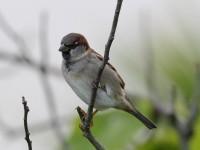 house-sparrow-59463501