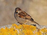 house-sparrow-60213462