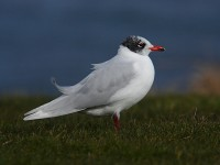 med-gull-2nd-winter-90992470