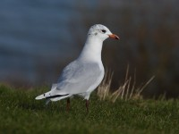 med-gull-2nd-winter-91542457