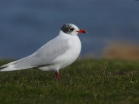 med-gull-adult-91032471