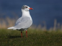 med-gull-adult-91732455