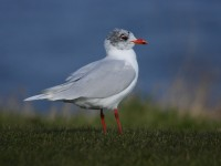 med-gull-adult-91792456