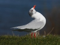 med-gull-adult-92592443