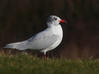 med-gull-adult-92672448