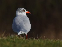 med-gull-adult-92732441