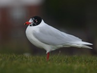 med-gull-adult-winter-89802462