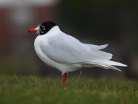 med-gull-adult-winter-89842463