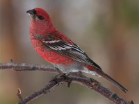 pine-grosbeak-32222594