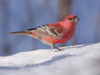 pine-grosbeak-33162579