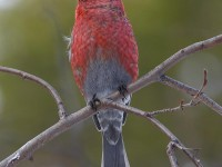 pine-grosbeak-33992582