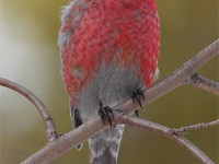 pine-grosbeak-34192580