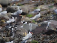 spot-the-bridled-tern-04272926
