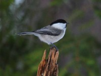 willow-tit-83212382