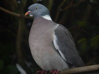 wood-pigeon-97092516