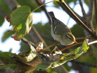 yellow-browed-warbler-59953461