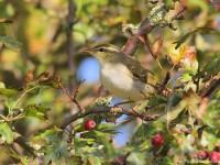 Arctic Warbler 8961585