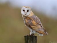 Barn Owl 0310893