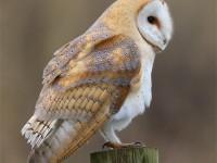 Barn Owl 0336894
