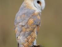 Barn Owl 0347896