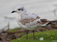 Mediterranean Gull 6615379