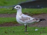 Mediterranean Gull 6663368