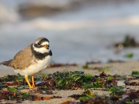 Ringed Plover 8619551