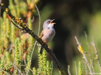 Spectacled Warbler 78464248