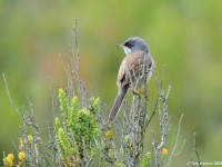 Spectacled Warbler 79864251