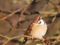 Tree Sparrow 0826796