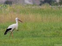 White Stork 1086120